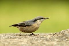 Nuthatch bird Stock Photo