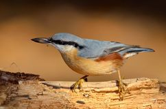 Nuthatch bird Royalty Free Stock Photo