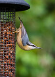 Nuthatch on bird feeder Royalty Free Stock Photos