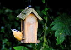 Nuthatch at bird feeder Stock Images