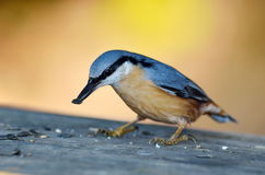 Nuthatch bird in natural habitat (sitta europaea). Eating seeds royalty free stock photo
