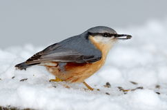 Nuthatch bird in natural habitat (sitta europaea). Nuthatch bird in natural habitat in winter (sitta europaea stock photo
