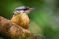 Nuthatch Bird stock image