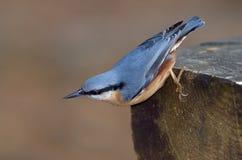 Nuthatch bird outdoor (sitta europaea) Royalty Free Stock Photos