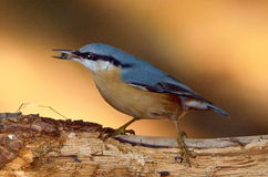 Nuthatch bird outdoor (sitta europaea). Nuthatch bird in natural habitat (sitta europaea stock image