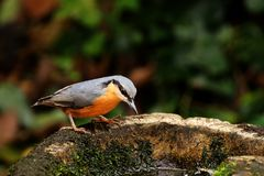 Nuthatch. Royalty Free Stock Photos