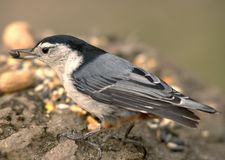Nuthatch With Bird Seed. Whitebreated nuthatch with bird seed Stock Photos