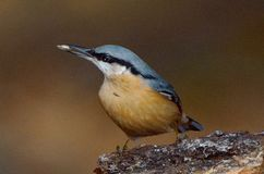 Nuthatch bird (sitta europaea). Nuthatch bird in natural habitat (sitta europaea stock photo