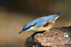 Nuthatch bird (sitta europaea) Royalty Free Stock Photo