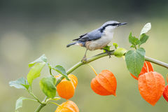 Nuthatch bird sitting on a beautiful branch of physalis Royalty Free Stock Image