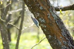 Nuthatch bird sitting on a tree trunk. Stock Images
