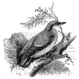 Nuthatch bird vintage illustration. Nuthatch bird on tree branch, vintage illustration. Sourced from antique book The Playtime Naturalist by Dr. J.E. Taylor Stock Photo
