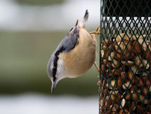Nuthatch on a birdfeeder Royalty Free Stock Photo