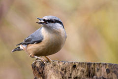 Nuthatch with birdseed. A nuthatch with birdseed in his pecker Stock Image