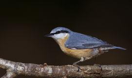 Nuthatch with Black Background. Nuthatch is perching on a tree branch Royalty Free Stock Photography