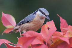 Nuthatch on boston ivy Stock Image