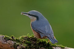 Nuthatch on a branch. A Nuthatch on a branch. They breed mainly in woods and gardens with trees, throughout Europe Stock Image
