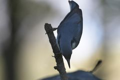 Nuthatch on branch Royalty Free Stock Photography