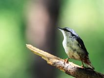 Nuthatch on branch Stock Photography