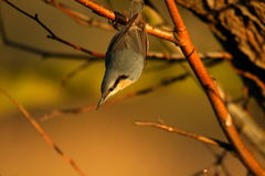 Nuthatch on branch Stock Image