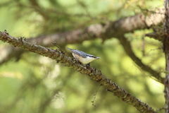 Nuthatch on branch of larches Stock Images