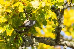 Nuthatch on a branch Stock Photo