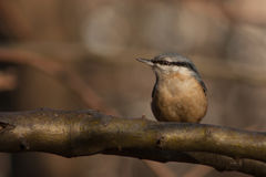 Nuthatch on a branch. Royalty Free Stock Image