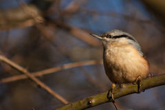 Nuthatch on a branch. Royalty Free Stock Photo