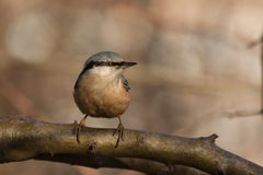 Nuthatch on a branch. Stock Images