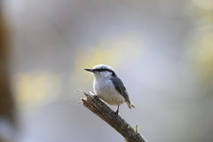 Nuthatch on the branch of tree Royalty Free Stock Photo