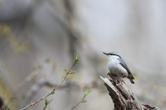Nuthatch on the branch of tree Stock Photo