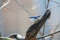 Nuthatch on the branch of tree Stock Photography