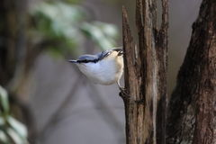 Nuthatch on the branch of tree Stock Photos
