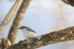 Nuthatch on a branch of tree Stock Photos