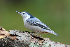 Nuthatch on a Branch. A male White Breasted Nuthatch (Sitta carolinensis) on a branch in side view Royalty Free Stock Images