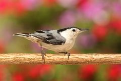 Nuthatch On A Branch Stock Photography