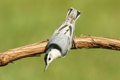 Nuthatch On A Branch Stock Photos