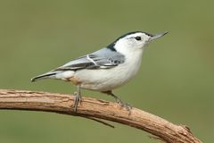 Nuthatch On A Branch Stock Image