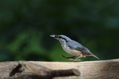 Nuthatch on the brid feeder Royalty Free Stock Images