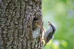 Nuthatch bring caterpillar for feeding hungry nestling. Wild nature scene of spring forest life. Eurasian small passerine bird Sitta europaea feeds nestling stock photos