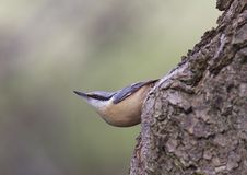 Nuthatch. Clinging to tree Royalty Free Stock Images