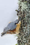 Nuthatch clinging to a trunk Stock Images