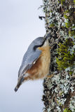 Nuthatch clinging to a trunk Royalty Free Stock Photos