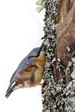 Nuthatch clinging to a trunk Stock Photography