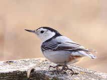 Nuthatch Close Up Stock Image