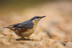 Nuthatch close-up Stock Photo