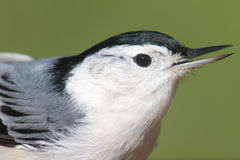 Nuthatch Closeup Royalty Free Stock Images