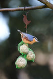 Nuthatch the colored sparrow Stock Images