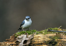 Nuthatch Royalty Free Stock Photography