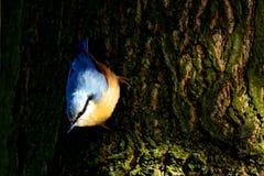 Nuthatch in de Tuin Stock Foto